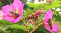 Bienen beim Sammeln von Pollen; Bildquelle: BeeVital GmbH