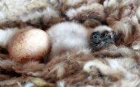 Frisch geschlüpfter Geier in seinem mit Schafwolle ausgepolsterten Nest mit Geschwister-Ei; Bildquelle: EGS/Stefan Knöpfer