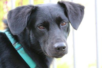 Labrador-Mischlingsrüde Charlie; Bildquelle: Marion Schindlauer