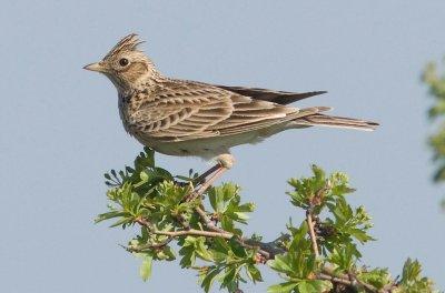Feldlerche (Alauda arvensis); Bildquelle: M. Dvorak/Birdlife