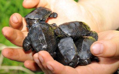 Nachzucht der bedrohten Seychellen-Klappbrust-Pelomeduse; Bildquelle: Turtle Island/Peter Praschag