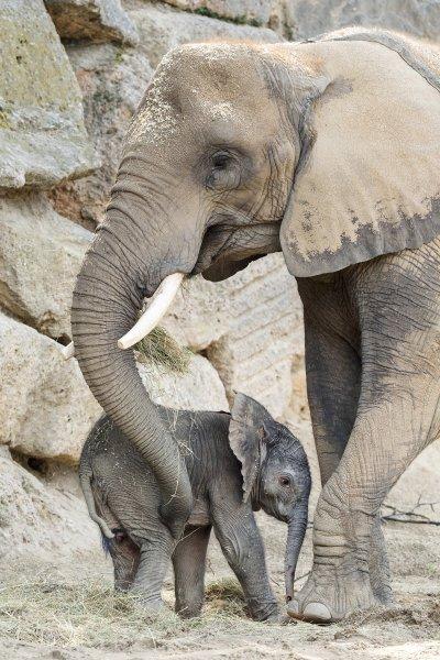 Jungtier mit Mutter Numbi; Bildquelle: Daniel Zupanc