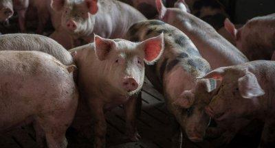 Intensivtierhaltung Schweine; Bildquelle: TheAnimalDay.org