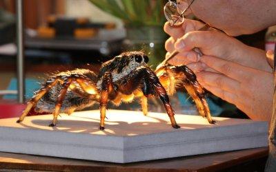 Arbeiten am Modell 'Zebraspringspinne'; Bildquelle: NHM Wien