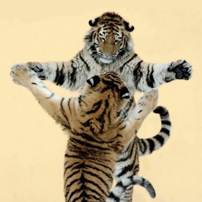 Tiger-Schwestern Kyra und Ina beim Spielen; Bildquelle: Jutta Kirchner