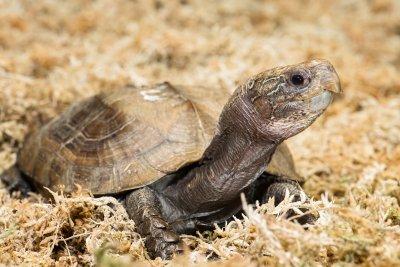 Scharnierschildkröte im Tiergarten Schönbrunn; Bildquelle: Daniel Zupanc