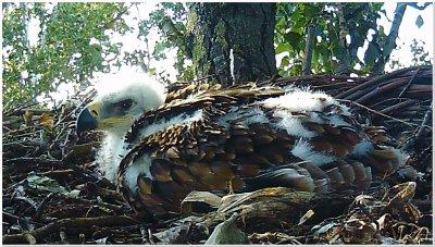 Kaiseradler ; Bildquelle: BirdLife