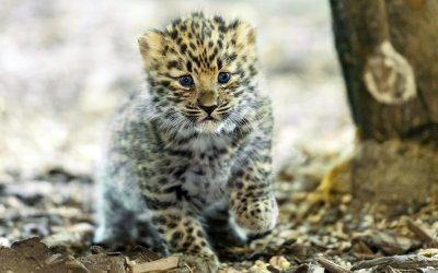 Amurleopard Jungtier; Bildquelle: Daniel Zupanc
