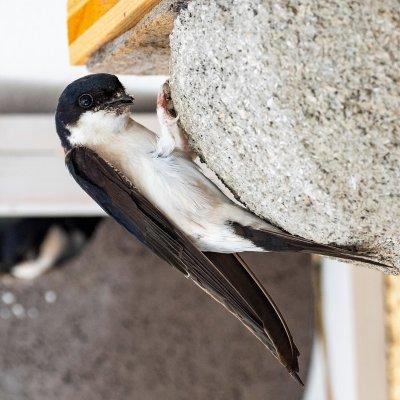 Mehlschwalbe; Bildquelle: Johannes Hohenegger/BirdLife Österreich