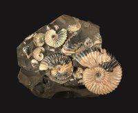 Deshayesites deshayesi mit original Perlmuttschale; Kreide, Apt,  124 Millionen Jahre (Saratow, Russland); Bildquelle: NHM Wien, Alexander Lukeneder