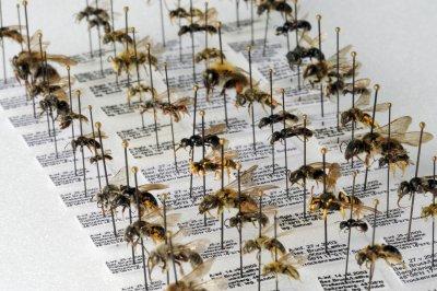 Sammlung pannonischer Wildbienen am Naturhistorischen Museum Wien; Bildquelle: Naturhistorische Museum Wien