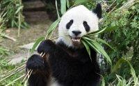 Panda Long Hui im September 2016; Bildquelle: Daniel Zupanc