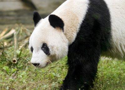 Panda-Männchen Yuan Yuan; Bildquelle: Tiergarten Schönbrunn