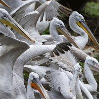 Pelikan-Gruppe im Tiergarten Schönbrunn; Bildquelle: Daniel Zupanc