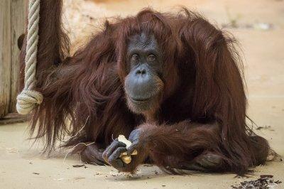 Schönbrunner Orang-Utan-Weibchen Nonja; Bildquelle: Paul Berger