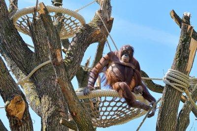 Schönbrunner Orang-Utans freuen sich über neues Kletterparadies; Bildquelle: Norbert Potensky