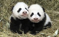 Schönbrunner Pandazwillinge; Bildquelle: Daniel Zupanc