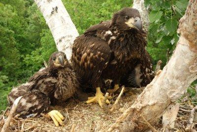 Zwei von acht Jungadlern wurden heuer in den March-Thaya-Auen besendert; Bildquelle: Stefan Höller / WWF
