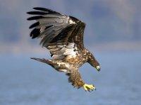 Seeadler; Bildquelle: Hoyer/Nationalpark Donau-Auen
