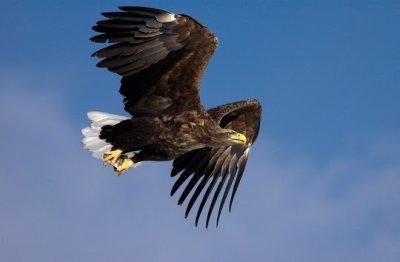 Seeadler im Flug; Bildquelle: Justine Pickett / papiliophotos.com