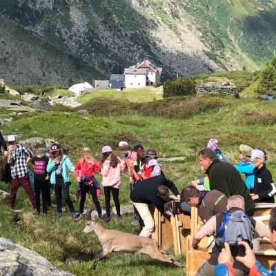 Steinbockauswilderung im Zillertal; Bildquelle: Alpenzoo Innsbruck