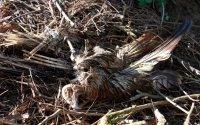 Vergifteter Rotmilan; Bildquelle: Birdlife