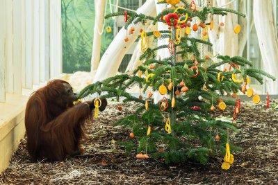 Vorweihnachtliche Überraschung für die Orang-Utans im Tiergarten Schönbrunn; Bildquelle: Daniel Zupanc