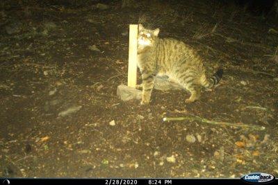Sägeraue Holzpflöcke mit Baldrianduft werden an Stellen, wo man Wildkatzen vermutet, positioniert. Die Wildkatze liebt Baldrian und reibt sich darum an dem Holz. Dabei bleiben Haare hängen, die dann abgesammelt und einer genetischen Analyse; Bildquelle: Peter Gerngross