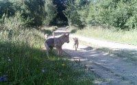 Fotofallenbild von Wölfen im Natura 2000-Gebiet Truppenübungsplatz Allensteig ; Bildquelle: BMLVS