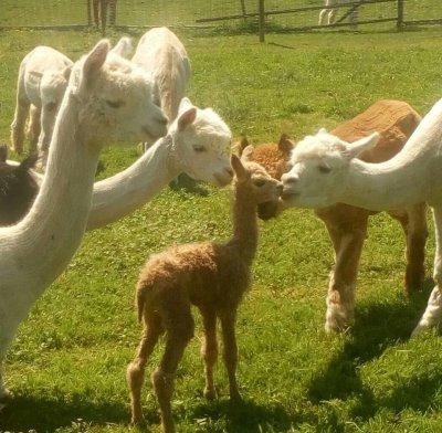 Lama- und Alpaka; Bildquelle: HBLFA Raumberg-Gumpenstein