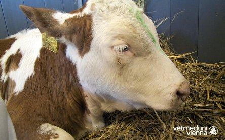Bakterien spielen bei Magengeschwüren bei Rindern untergeordnete ...