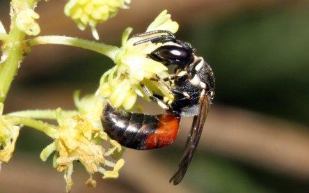 nhm wien erforscht die genetische vielfalt von wildbienen im herzen europas vet. Black Bedroom Furniture Sets. Home Design Ideas