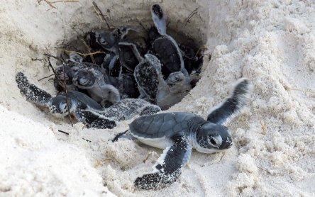 Schildkröten in Gefahr: Verhalten am Niststrand | VET-MAGAZIN.com