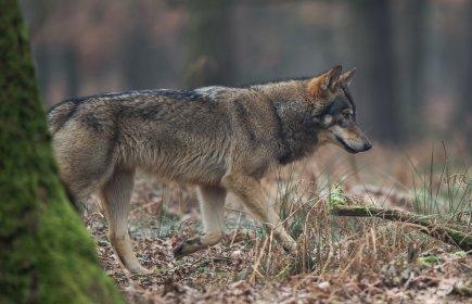 Verwandtschaft verpflichtet - Jagdhunde und Wölfe teilen sich ihre ...