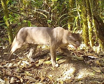 The rare African Golden Cat photographed for the first time in Tanzania; Bildquelle: MUSE Science Museum of Trento